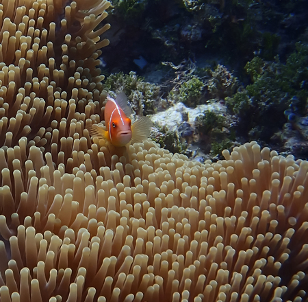 Orange anemonefish or tropical clownfish with anemone underwater in Palau