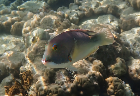 Tropical tuskfish with long teeth and brightly colored eyes underwater over coral reef. 版權商用圖片