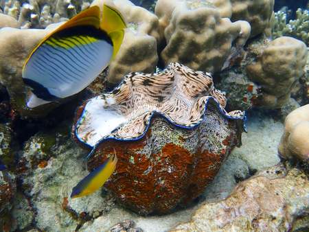 Two tropical fish swim by giant clam underwater in Palau.  Bright vibrant colors of yellow pink blue red.