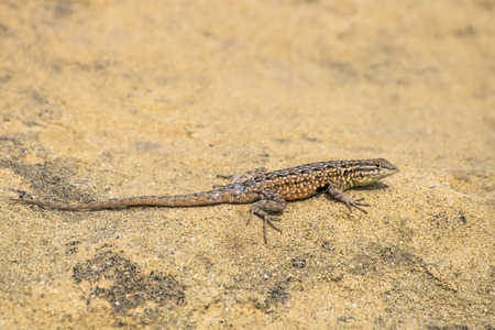 Side Blotched lizard sunning on sandstone rock on California foothill.