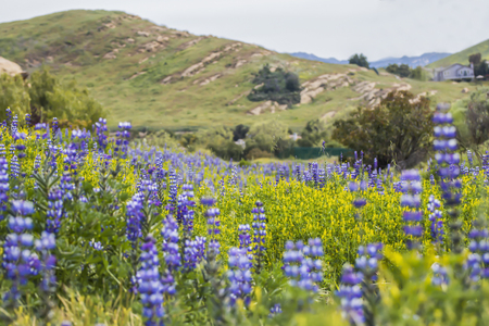 Hillside blooms with purple and yellow flowers after Woolsey wildfire in California.