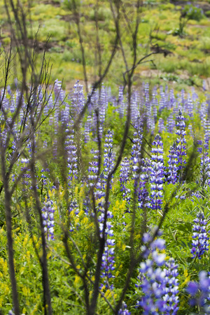 Purple Lupine flowers overtake burned brush in superbloom after California fires.
