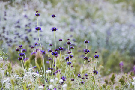 Purple pennyroyal flowers stand above field of wildflowers in California. Stock Photo