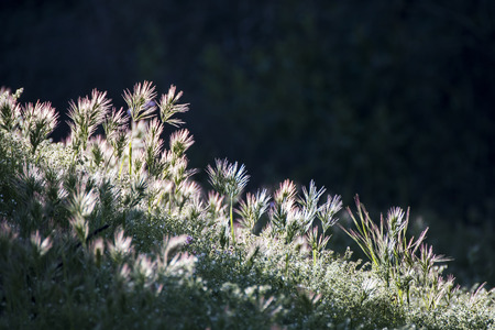 Sunrise causes glow as light shines through grasses in early morning daybreak image. Stock Photo