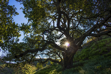Sunlight shines through Oak tree that survived California wildfires with renewal of green hills in background.