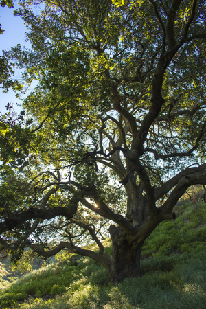 Lush green Oak tree in green field in California.  The area is growing after burning in wildfire. Stock Photo