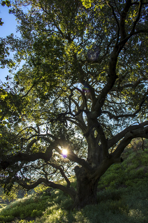 Sun shines through Oak Tree that survived California fires. Stock Photo