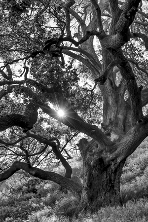 Sunlight shines through lush oak tree in black and white image.