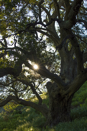 Vertical image sunlight shining through Oak Tree with lush gowth that survived California wildfires. Stock Photo