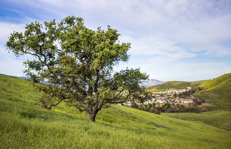 Oak tree survived California wildfires.  Stands in hills covered in green new growth. Stock Photo