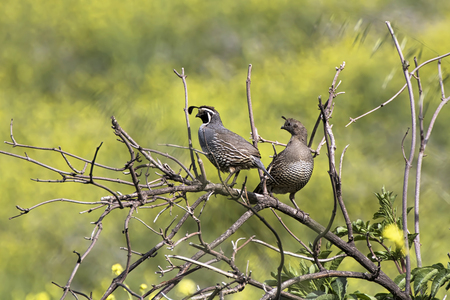 Male and female pair of California Quail birds sitting on twigs with green background.