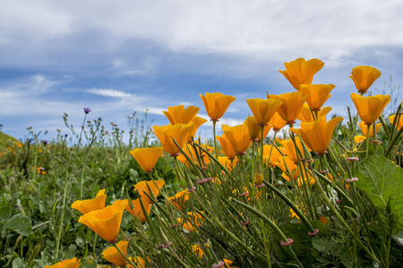 Bright orange California poppies bloom in green field under blue sky. Stock Photo