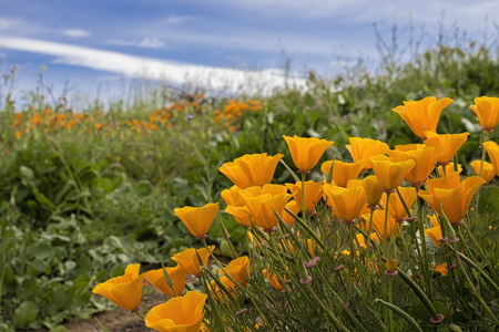 Low angle view of bright orange California poppies blooming in green fields under blue sky with white clouds.