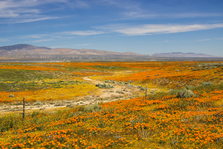 California high desert landscape with blooming wildflowers in orange and yellow, wind turbines and distant hills under blue sky.