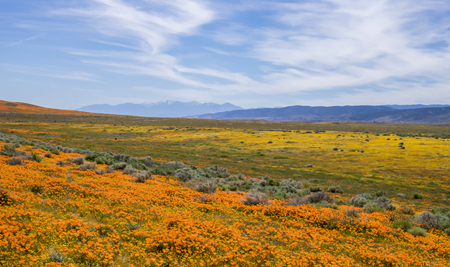 Layers of color in California desert with wildflowers in bloom and snow tipped hills in background under blue sky.