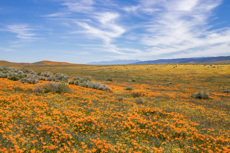 California desert landscape covered in vivid orange poppies and yellow flowers under blue sky with white clouds.