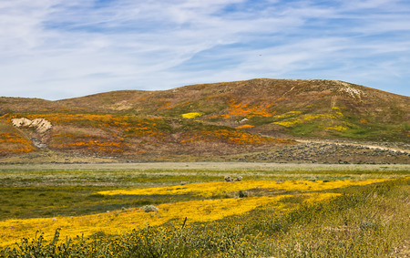Vibrant landscape covered in yellor orange and green wildflowers under blue sky with heart shaped erosion in hillside. Stock Photo