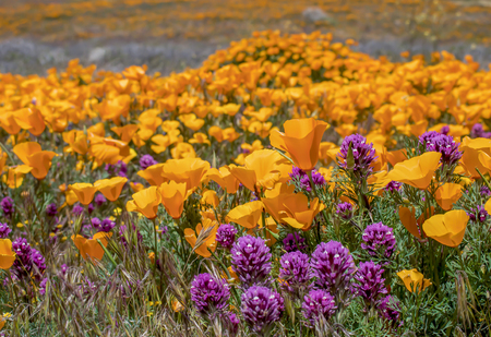 Field of orange poppies and purple owls clover wildflowers in bright colors. Stock Photo