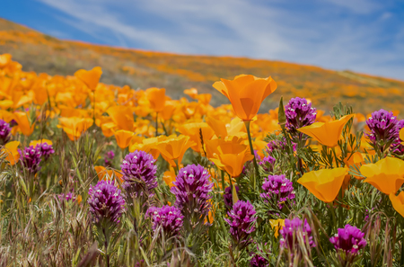 Close up field of bright orange poppies and purple owls clover wildflowers under blue sky.
