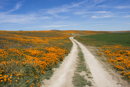 Dirt road leads through fields of bright orange poppies under blue sky with white clouds.