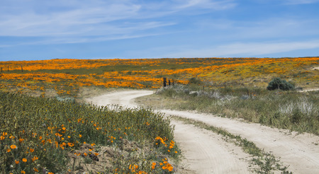 Curving dirt road leads through bright orange fields of poppy flowers under blue sky in California desert.