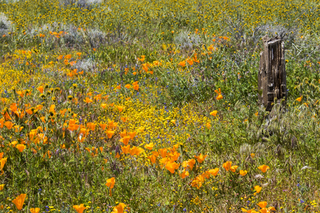 Full frame of mixture of California wildflowers blooming around wood fence post.