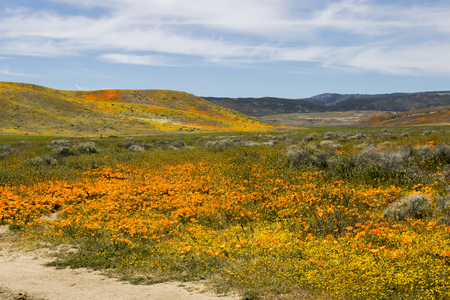 California landscape of rolling hills covered in blooming wildflowers in vibrant orange yellow and green under blue sky.