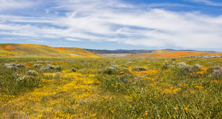 California landscape filled with yellow and orange wildflowers blooming in hillsides under blue sky. Stock Photo