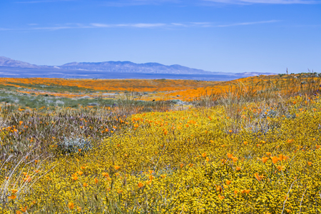 California desert landscape full of bright wildflowers in yellow orange green and purple.