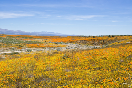 Colorful California desert landscape with wildflowers blooming in yellow and orange.