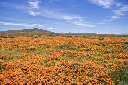 Desert lanscape covered in bright orange poppies with yellow and green mixed in under blue sky with white clouds Stock Photo