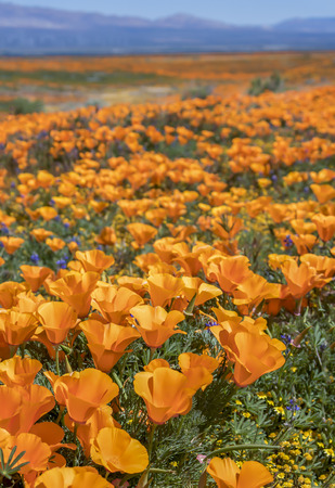 Vertical close up field of bright orange California poppies blooming in desert. Stock Photo