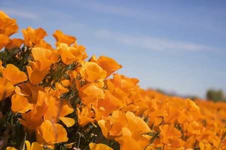 Close up side angle view California bright orange poppies blooming under blue sky. Stock Photo