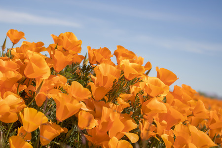 Vibrant orange California Poppy flowers blooming under blue sky in close up side angle view. Stock Photo