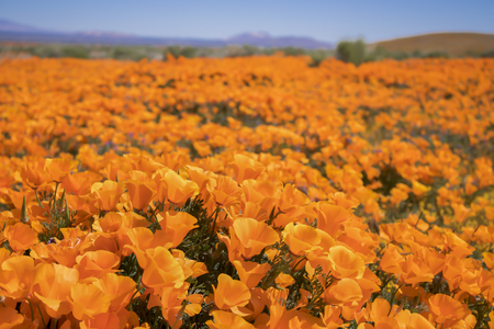 Close up field of bright orange poppy wildflowers low angle in California desert.
