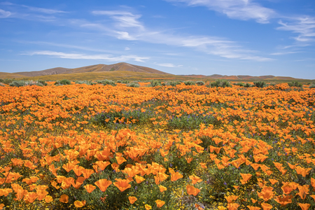Field of orange poppies blooming in California desert landscape with hills in background under blue sky with clouds. Stock Photo
