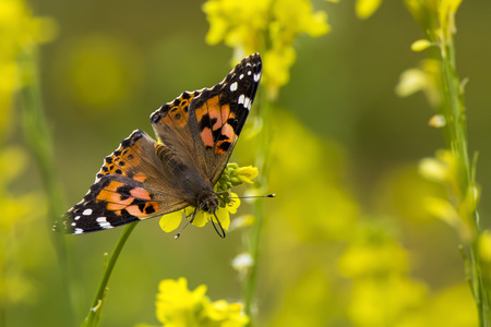 Bright orange painted lady butterfly in a field of yellow mustard wildflowers during spring superbloom.