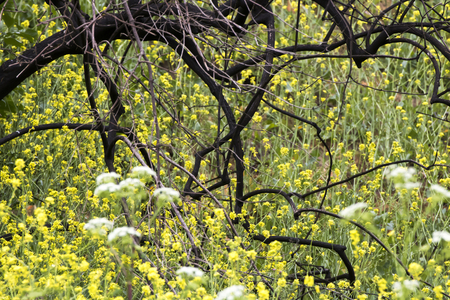 Burned tree from California fires being covered by blooming wildflowers in bright yellow.