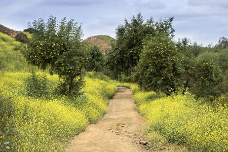 Landscape that burned in California fires now covered in super bloom of bright yellow wildflowers. Dirt trail runs through image.