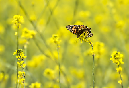 Single orange painted lady butterfly in a field of bright yellow mustard wildflowers. Stock Photo