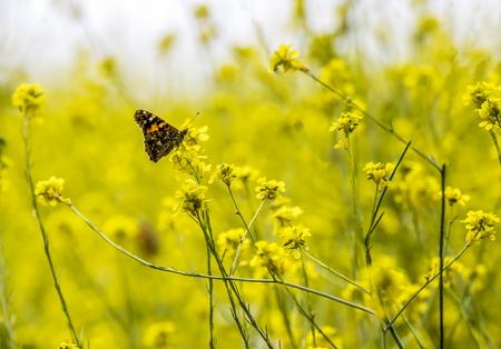 Pojedynczy jasny pomarańczowy malowany motyl pani w polu żółte kwiaty gorczycy. Zdjęcie Seryjne