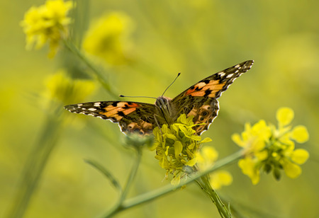 Close up look at painted lady bright orange butterfly with face eyes and proboscis sitting on yellow wild mistard flowers. Stock Photo