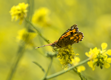 Close up painted lady butterfly profile on yellow wild mustard flowers with yellow background.