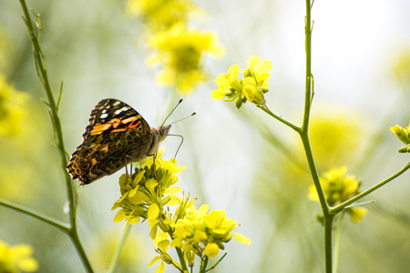 Close up profile painted lady butterfly on yellow mustard wildflower.