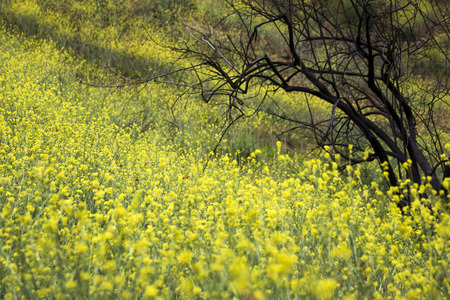 Yellow superbloom of wild mustard flowers and orange painted lady butterflies cover burned hillside in California. Stock Photo