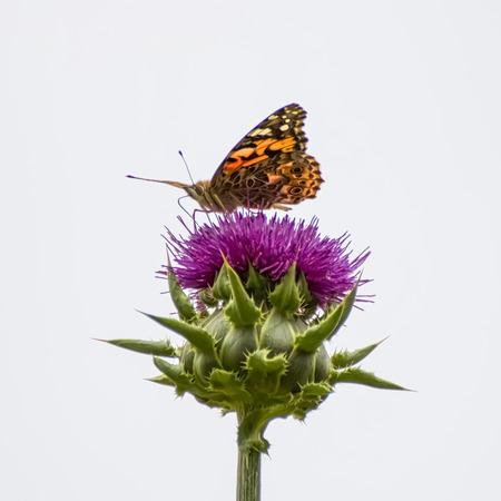 Ciérrese encima de la mariposa de la señora pintada de ángulo bajo en la flor del cardo en púrpura. Foto de archivo