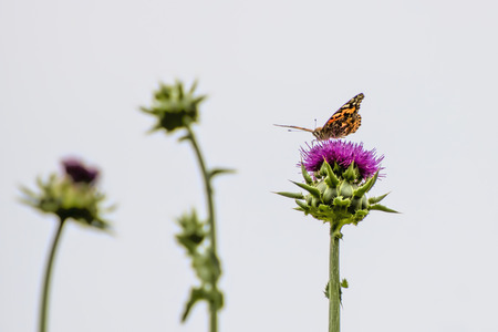 Bright orange painted lady butterfly on purple thistle flower with white background. Stock Photo