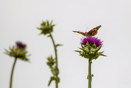 Bright orange colored Painted Lady butterfly on thistle plant with white background.