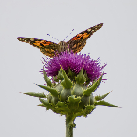 Close up low angle face first orange painted lady butterfly on purple thistle flower with white background. Stock Photo
