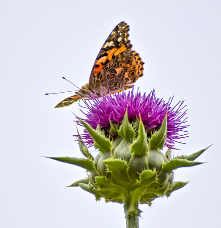 Close up face and profile of bright orange painted lady butterfly sitting on purple thistle flower with white background. Stock Photo